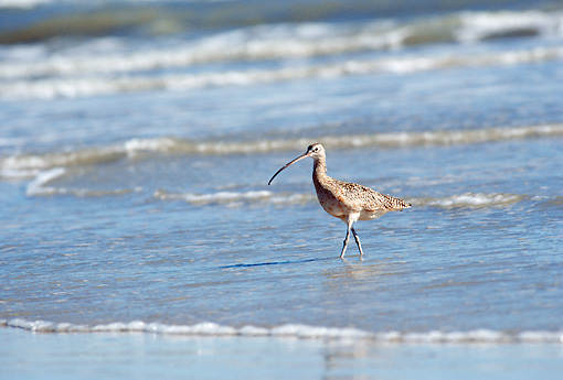 BRD 30 BA0001 01 © Kimball Stock Long-Billed Curlew Walking On Shore