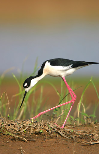 BRD 30 DA0002 01 © Kimball Stock Black-Necked Stilt Turning Eggs At Nest In Karl Bartel Grassland, Illinois
