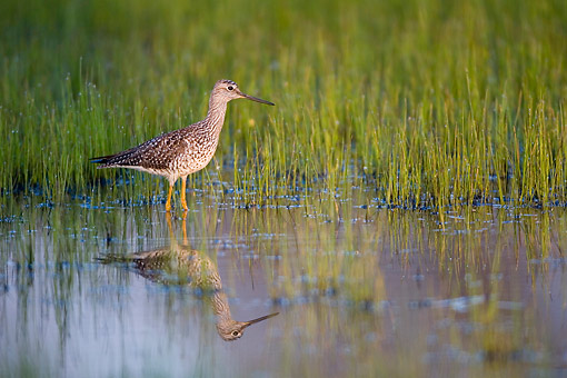 BRD 30 DA0003 01 © Kimball Stock Greater Yellowlegs Standing In Wetlands, Illinois