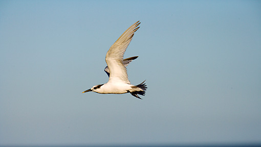 BRD 30 HP0001 01 © Kimball Stock Greater Crested Tern In Flight Along Western Cape, South Africa