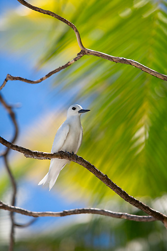 BRD 30 KH0001 01 © Kimball Stock White Tern Perching On Branch