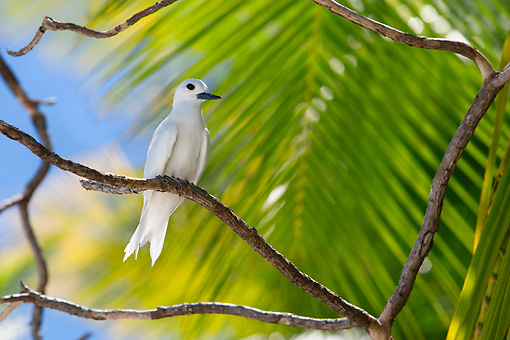 BRD 30 KH0002 01 © Kimball Stock White Tern Perching On Branch