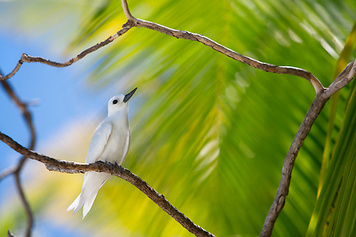 BRD 30 KH0003 01 © Kimball Stock White Tern Perching On Branch