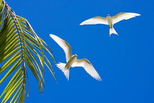 BRD 30 KH0004 01 © Kimball Stock White Terns Flying By Palm Frond