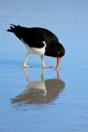 BRD 30 KH0006 01 © Kimball Stock Magellanic Oystercatcher Hunting On Beach Falklands