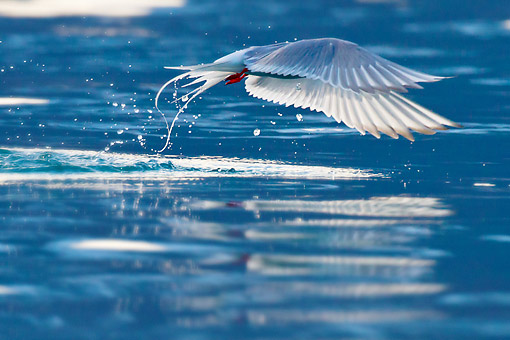 BRD 30 KH0010 01 © Kimball Stock Arctic Tern Flying Near Water Svalbard