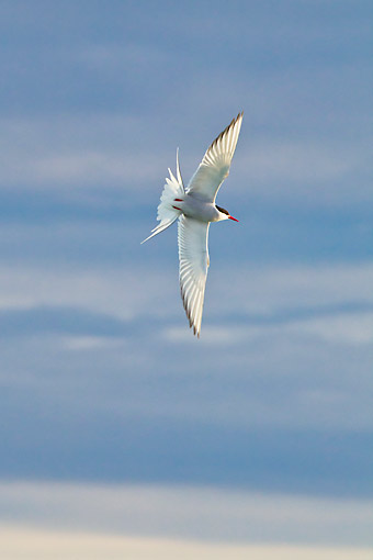 BRD 30 KH0011 01 © Kimball Stock Portrait Of Arctic Tern In Flight Svalbard