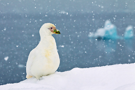 BRD 30 KH0012 01 © Kimball Stock Snowy Sheathbill Resting In Snow, Antarctic Peninsula