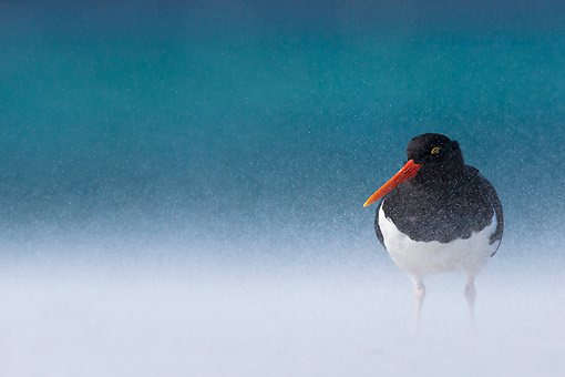 BRD 30 KH0013 01 © Kimball Stock Magellanic Oystercatcher Standing On Windy Beach In Falkland Islands