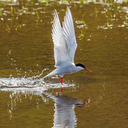 BRD 30 KH0017 01 © Kimball Stock Arctic Tern Fishing In Coastal Lagoon In Svalbard, Norway