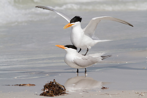 BRD 30 LS0002 01 © Kimball Stock Royal Terns Mating On Gulf Of Mexico Beach St. Petersburg, Florida