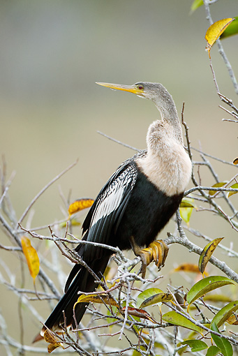 BRD 30 MC0003 01 © Kimball Stock Anhinga Female Perched On Tree Branch In Everglades