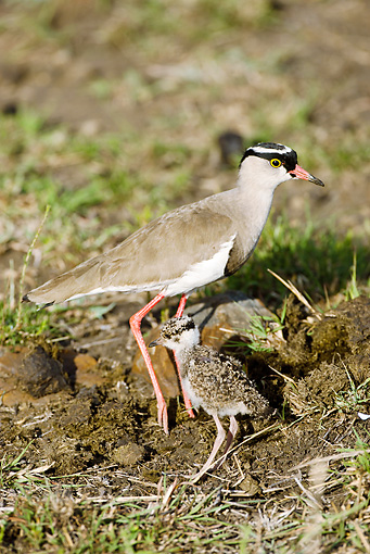 BRD 30 MC0004 01 © Kimball Stock Crowned Lapwing Mother With Chick In Grassland Kenya