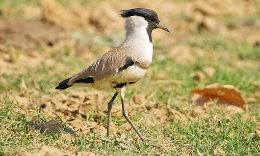 BRD 30 MC0010 01 © Kimball Stock River Lapwing Walking On Grass Satpura National Park Madhya Pradesh, India