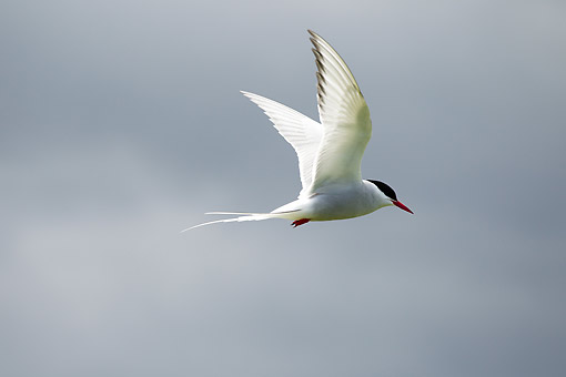 BRD 30 MC0012 01 © Kimball Stock Arctic Tern Flying Prior Castell's Tower, Inner Farne Island, Scotland