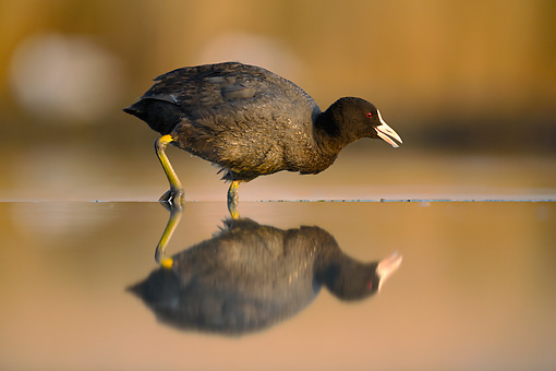 BRD 30 MH0003 01 © Kimball Stock Coot Walking In Shallow Water With Reflection