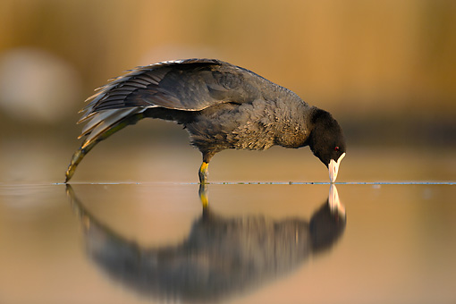 BRD 30 MH0004 01 © Kimball Stock Coot Standing In Shallow Water With Reflection