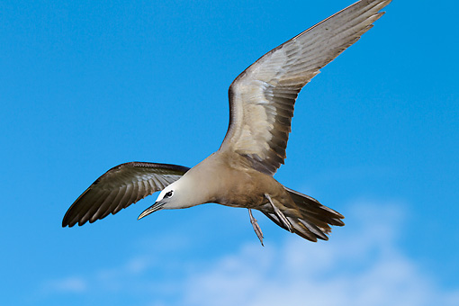 BRD 30 MH0005 01 © Kimball Stock Common Noddy Tern In Flight In Seychelles