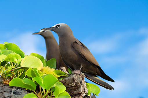 BRD 30 MH0006 01 © Kimball Stock Two Common Noddy Terns Perched On Branch In Seychelles