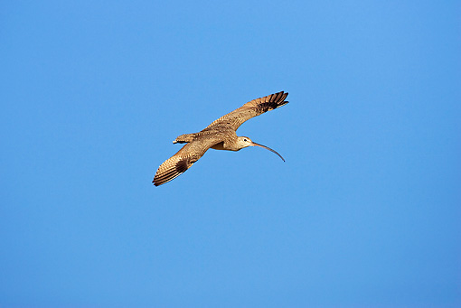 BRD 30 RF0003 01 © Kimball Stock Long-Billed Curlew Flying In Blue Sky