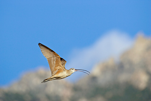 BRD 30 RF0004 01 © Kimball Stock Long-Billed Curlew Flying In Blue Sky