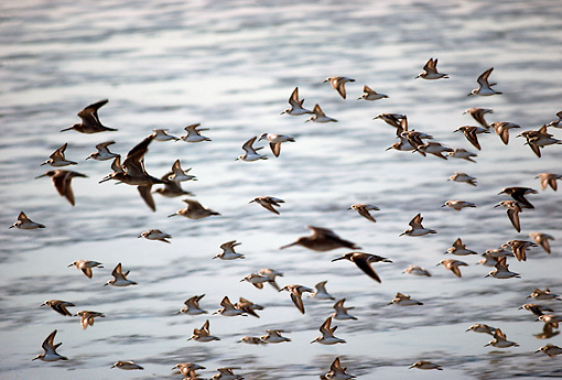 BRD 30 RK0028 02 © Kimball Stock Shorebirds In Flight