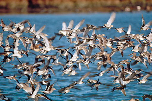 BRD 30 RK0028 05 © Kimball Stock Shorebirds In Flight