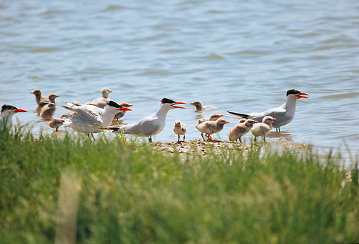BRD 30 RK0035 01 © Kimball Stock A Flock Of Terns By Shore