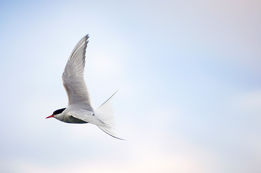 BRD 30 SK0008 01 © Kimball Stock Arctic Tern Flying