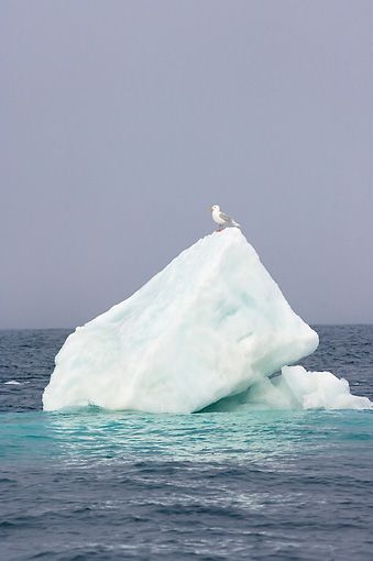 BRD 30 SK0009 01 © Kimball Stock Seagull Perching On Sea Ice