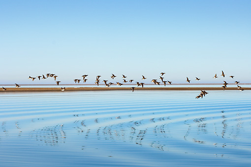 BRD 30 SK0012 01 © Kimball Stock Flock Of Birds Flying Over Water