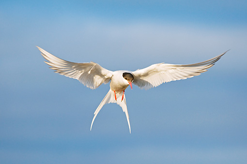 BRD 30 SK0013 01 © Kimball Stock Arctic Tern Flying In Sky