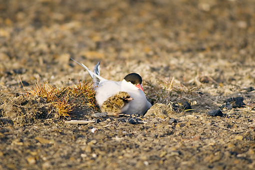 BRD 30 SK0015 01 © Kimball Stock Arctic Tern Mother And Chick Sitting In Nest In Tundra