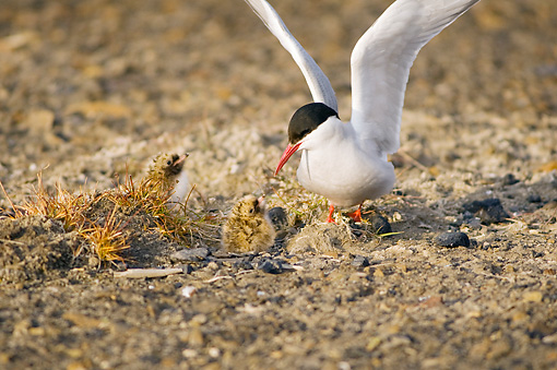 BRD 30 SK0016 01 © Kimball Stock Arctic Tern Mother And Chicks Standing In Nest In Tundra