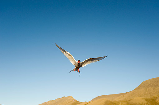 BRD 30 SK0017 01 © Kimball Stock Arctic Tern Flying Outside Settlement Of Longyearbyen, Spitsbergen, Svalbard