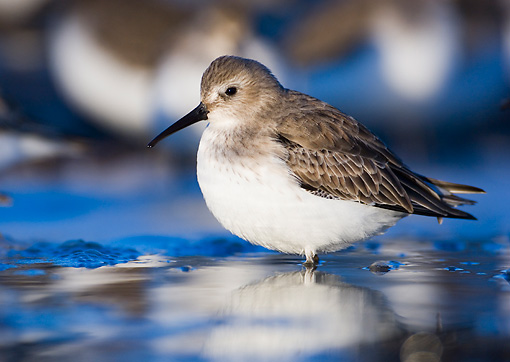 BRD 30 WF0001 01 © Kimball Stock Portrait Of Dunlin Standing In Water