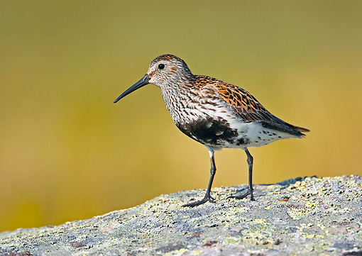 BRD 30 WF0002 01 © Kimball Stock Dunlin Standing On Lichen Covered Rock