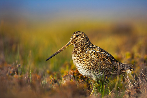 BRD 30 WF0009 01 © Kimball Stock Magellanic Snipe Standing On Grass