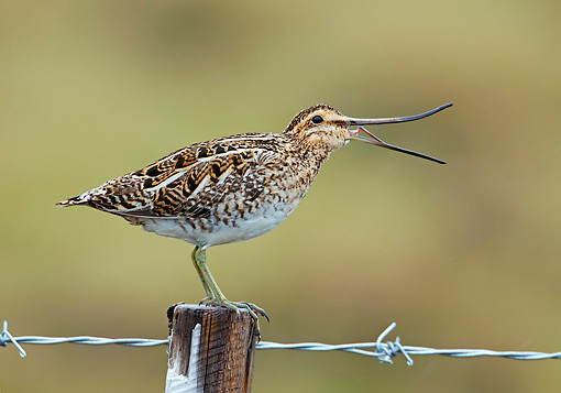 BRD 30 WF0010 01 © Kimball Stock Common Snipe Perched On Wooden Post With Beak Open