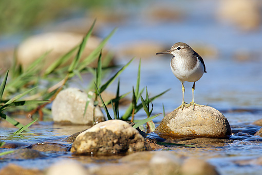 BRD 30 WF0011 01 © Kimball Stock Common Sandpiper Standing On Stone In Pond