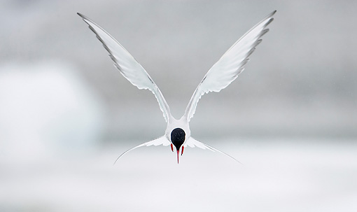 BRD 30 WF0012 01 © Kimball Stock Portrait Of Arctic Tern In Flight