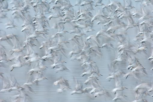 BRD 30 WF0013 01 © Kimball Stock Flock Of Red Knots In Flight