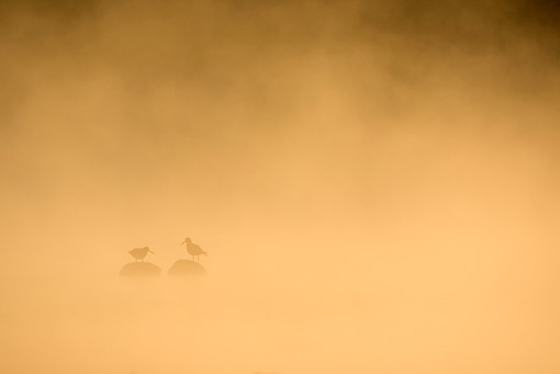 BRD 30 WF0016 01 © Kimball Stock Two Eurasian Oystercatchers Perched On Rocks In Mist