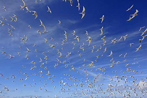 BRD 30 WF0017 01 © Kimball Stock Flock Of South American Tern Flying Against Blue Sky