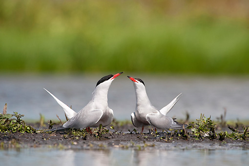 BRD 30 WF0018 01 © Kimball Stock Two Common Terns Courting By Pond