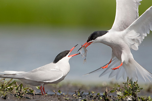 BRD 30 WF0019 01 © Kimball Stock Two Common Terns Courting By Pond