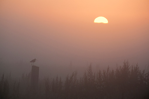BRD 30 WF0020 01 © Kimball Stock Silhouette Of Black-Tailed Godwit Perched On Post At Sunrise