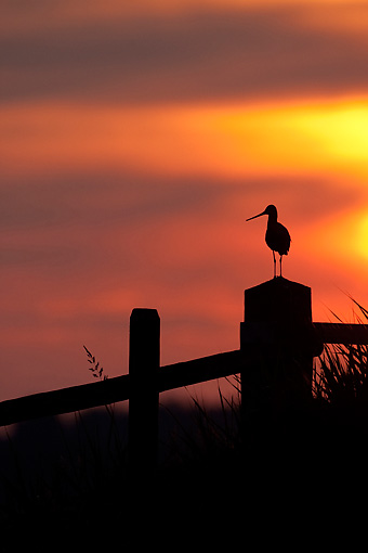 BRD 30 WF0021 01 © Kimball Stock Silhouette Of Black-Tailed Godwit Perched On Post At Sunset