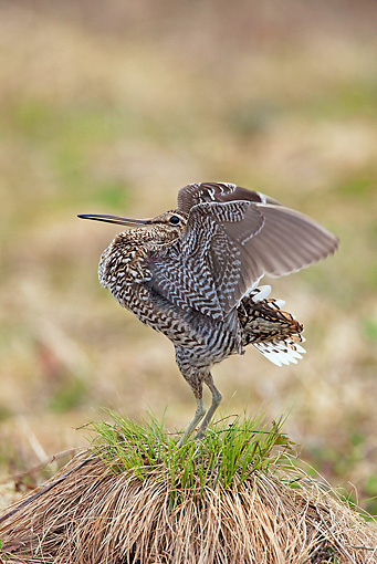 BRD 30 WF0022 01 © Kimball Stock Great Snipe Male Courting By Nest Sweden