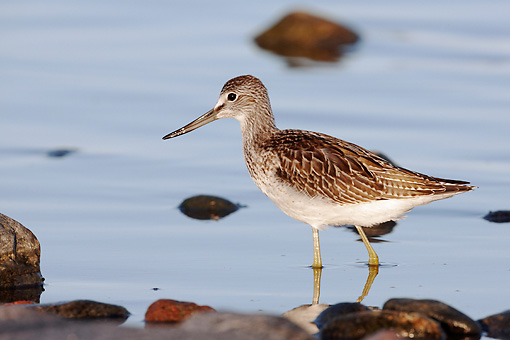 BRD 30 WF0023 01 © Kimball Stock Young Common Greenshank   Walking Through Shallow Water